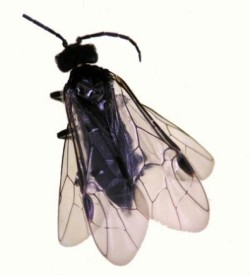 Figure 1. Adult grass sawflies commonly rest on light colored surfaces, they are not plotting trouble. (Photo: Lee Townsend, UK)