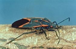 Figure 2. Boxelder bug. (Photo: Lee Townsend, UK)