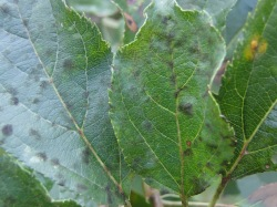 Figure 2: Older foliar lesions become more distinct, develop a greenish-black, velvety growth, and then thicken, and bulge up. (Photo: Kim Leonberger, UK)
