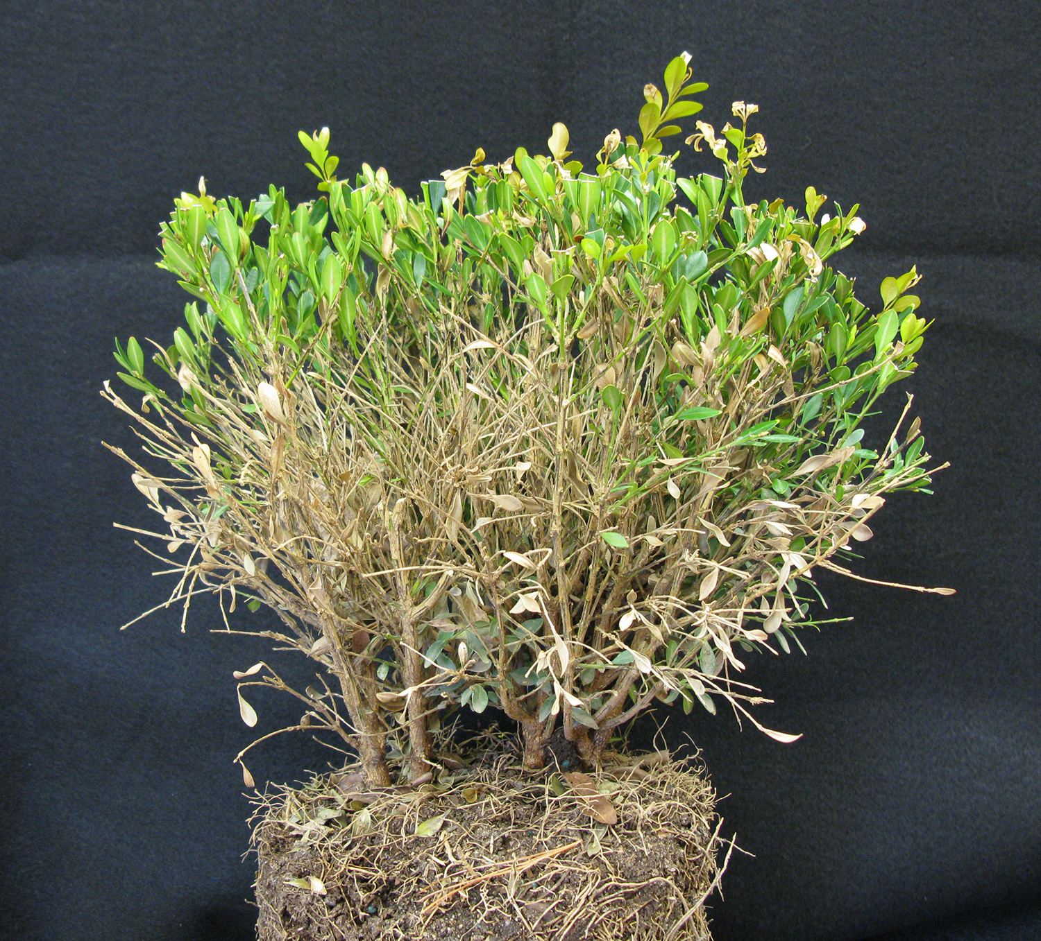 Boxwood Blight Confirmation In Kentucky Samples – ARBOR DOCTOR LLC