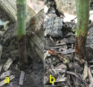 Figure 2. Soybean plant with dark discoloration at the base of the stem (a) and the presence of orange gall midge (b) after removing outer plant tissue. (Photos: J. McMechant, University of Nebraska–Lincoln)